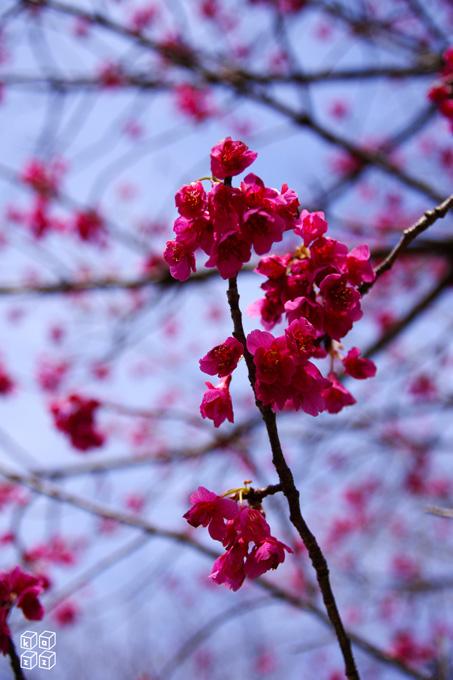 07.寒緋桜.jpg