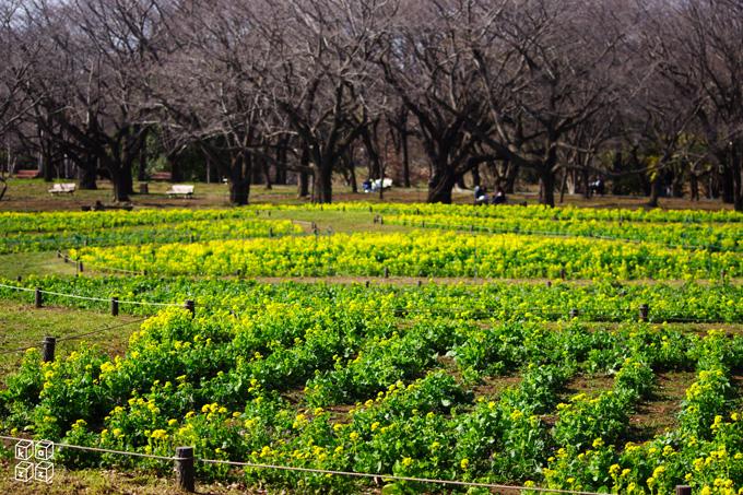11.菜の花.jpg