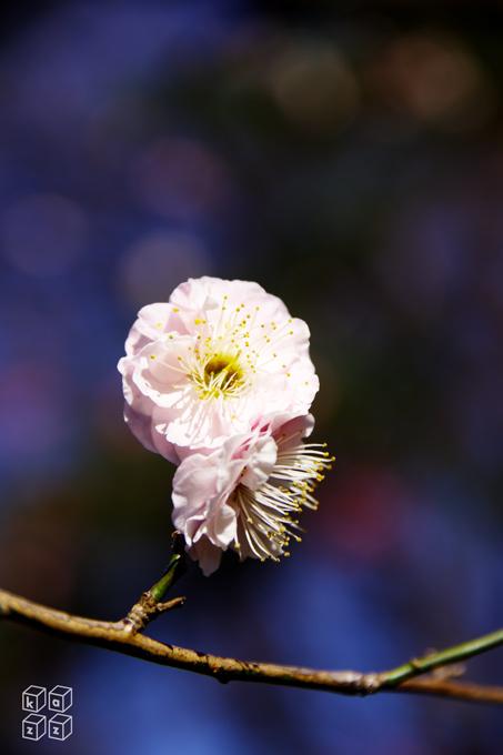 梅八重咲き.jpg