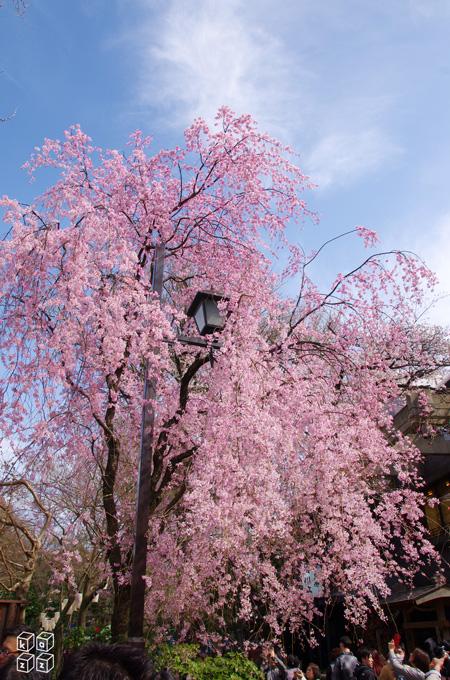 07.枝垂れ桜.jpg