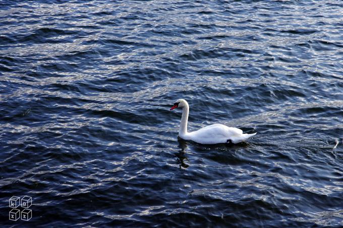 18.白鳥.jpg